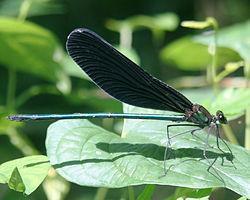 Calopteryx_atrata_male_in_Kiso_Sansen_National_Government_Park_2011-07-30.jpg
